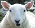SheepLast